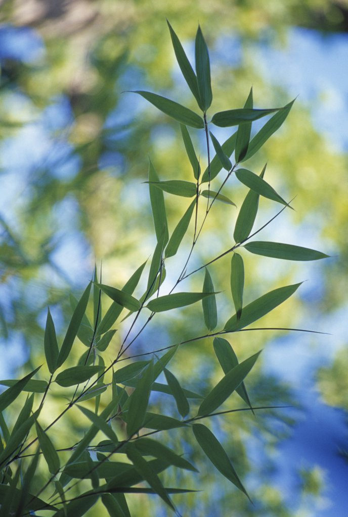 Phyllostachys sulphurea, Bamboo : Stock Photo