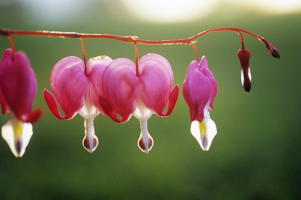 Dicentra, Bleeding heart : Stock Photo