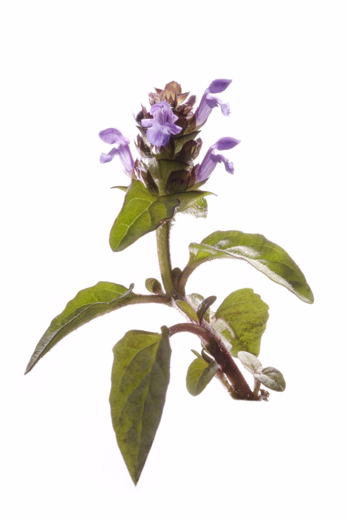Prunella vulgaris, Self heal : Stock Photo