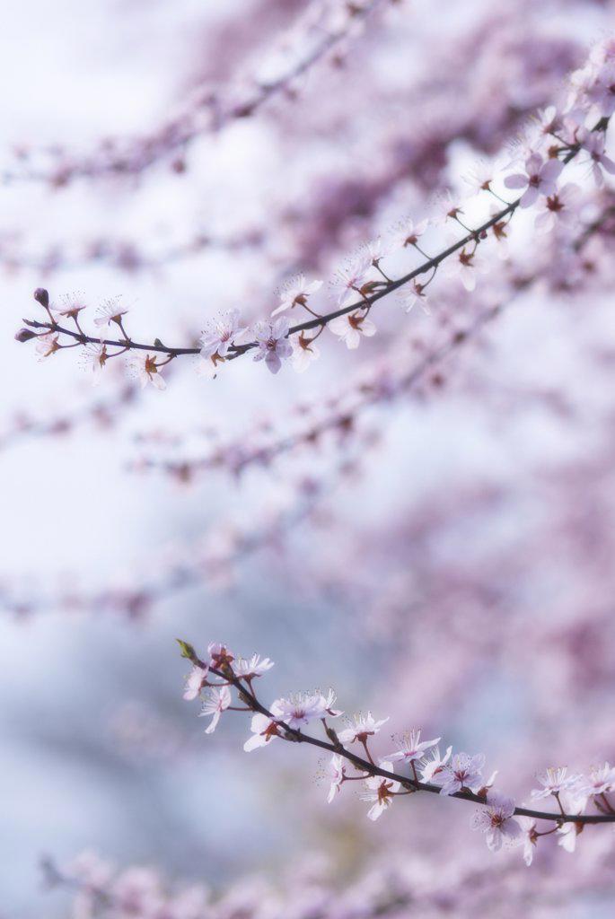 Prunus dulcis, Almond : Stock Photo