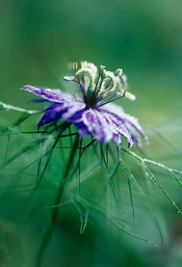 Nigella damascena, Love-in-a-mist : Stock Photo