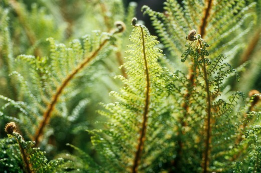 Stock Photo: 1850-35142 Fern