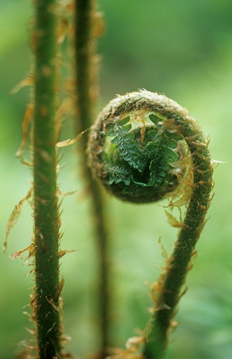 Stock Photo: 1850-35154 Fern