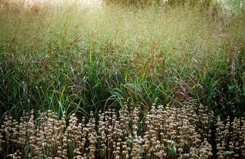 Stock Photo: 1850-35203 Molinia caerulea 'Transparent', Purple Moor Grass
