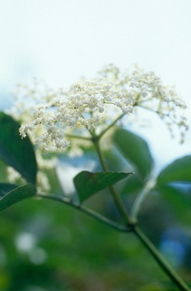 Sambucus nigra, Elder : Stock Photo