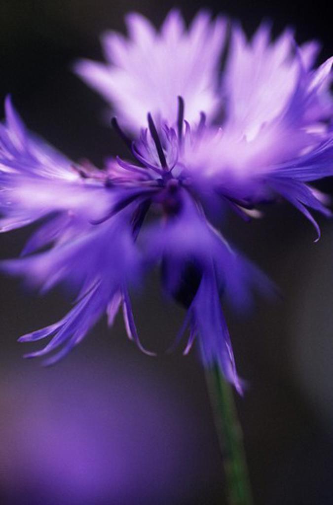 Centaurea cyanus, Cornflower : Stock Photo
