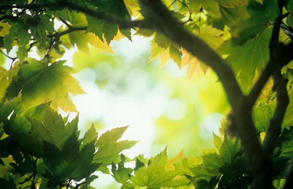 Stock Photo: 1850-35307 Acer japonicum, Japanese maple
