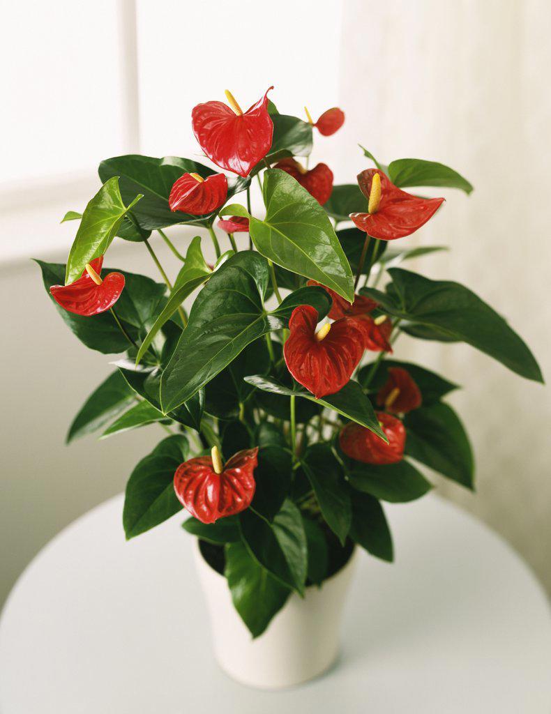 Anthurium andraeanum, Painter's palette : Stock Photo