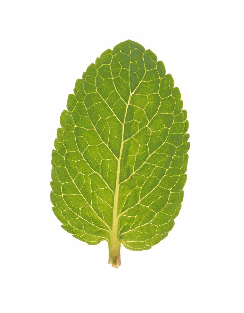 Stock Photo: 1850-35429 Mentha piperita, Mint, Peppermint