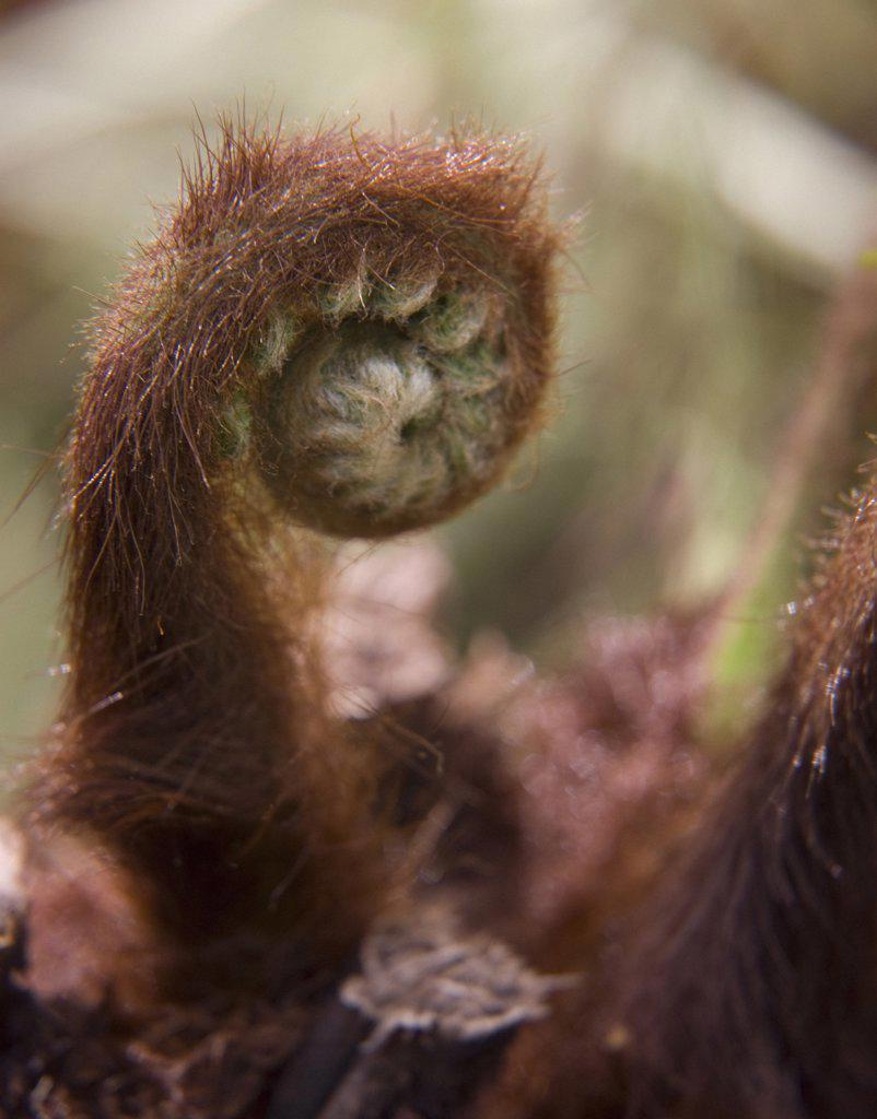 Dicksonia antartica, Fern, Tree fern : Stock Photo