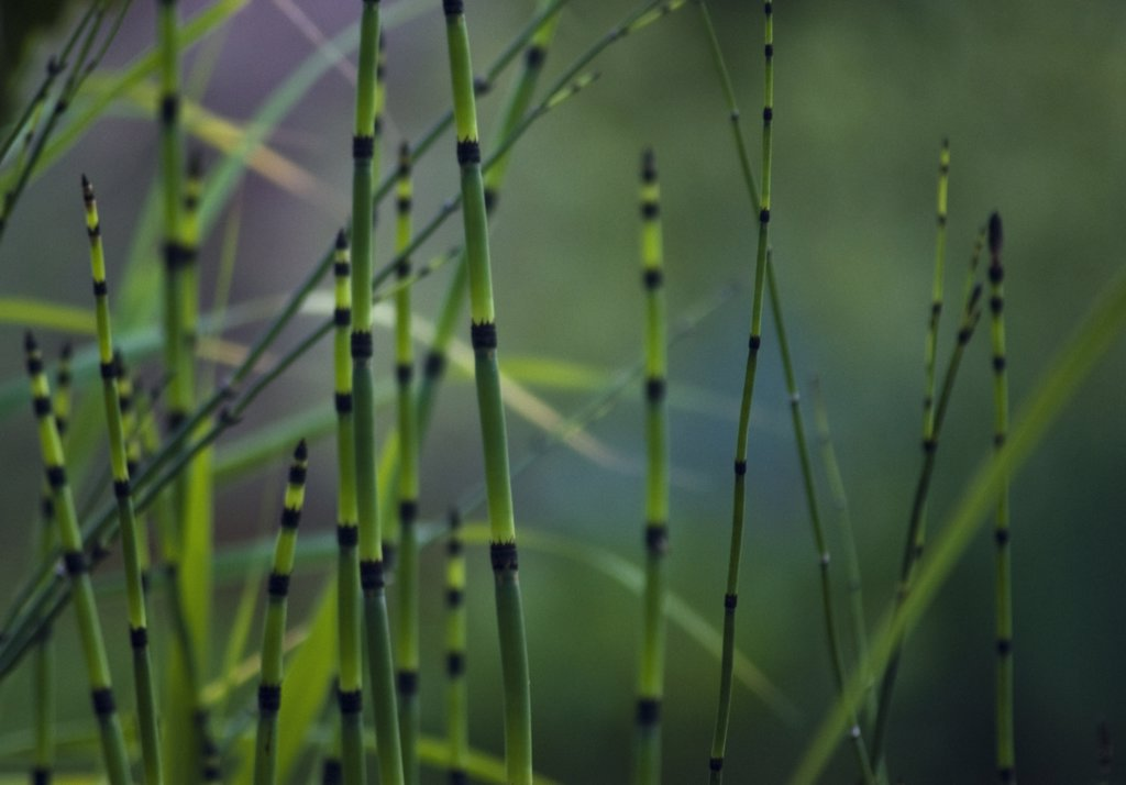 Equisetum fluviatile, Horsetail, Water horsetail : Stock Photo