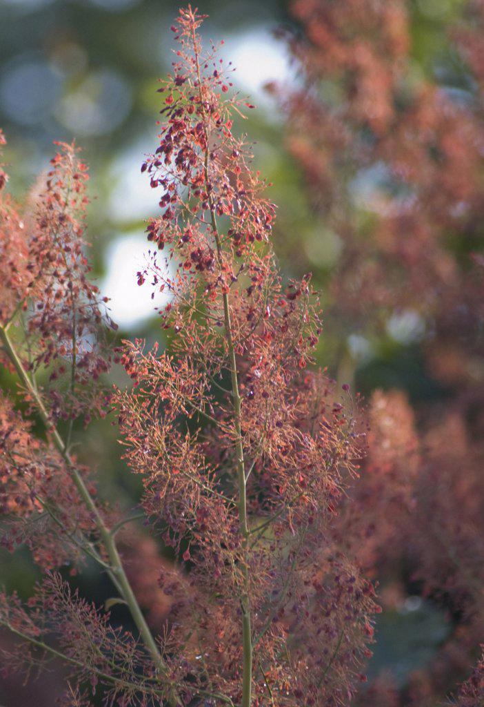 Macleaya cordata, Plume poppy : Stock Photo
