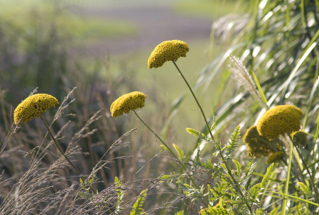 Achillea filipendulina 'Gold Plate', Yarrow : Stock Photo