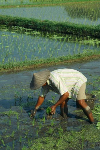 Stock Photo: 1850-3580 Indonesia, Bali, Ubud, Man Planting Young Rice Shoots In Paddy Field