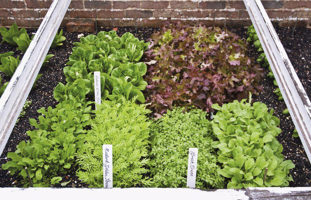 Stock Photo: 1850-36013 Lettuce