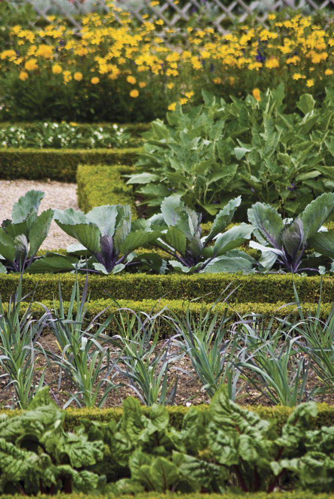 Buxus sempervirens, Box, common : Stock Photo