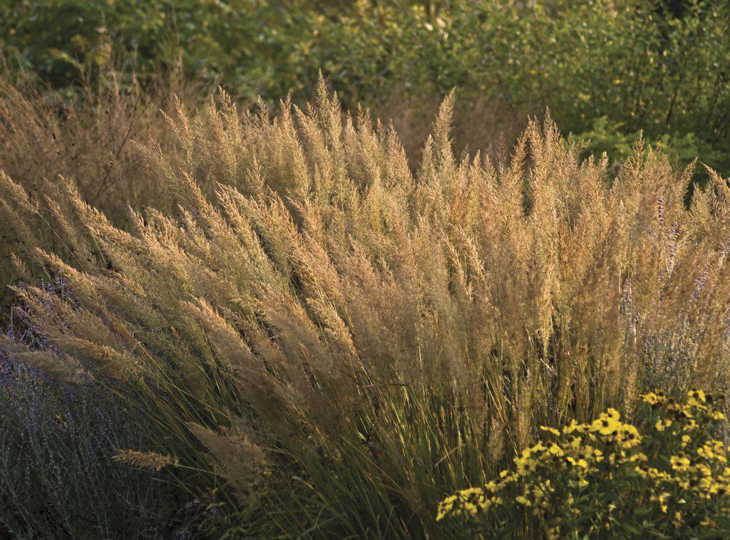 Stock Photo: 1850-36093 Calamagrostis brachytricha, Korean feather reed grass