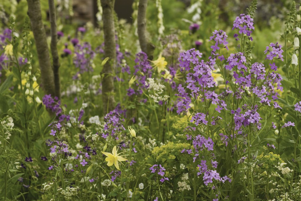 Stock Photo: 1850-36163 Hesperis matronalis, Sweet rocket, Dame's rocket