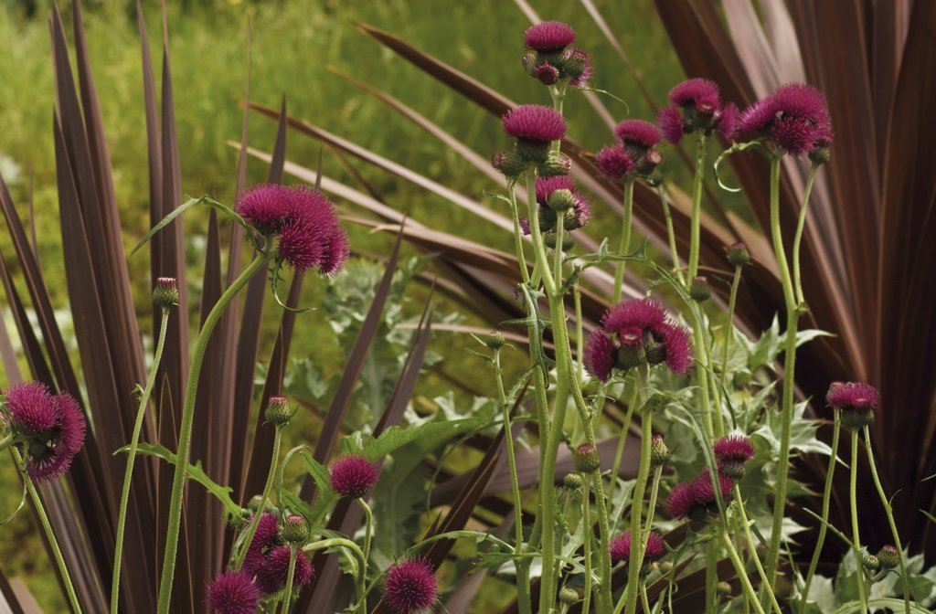 Stock Photo: 1850-36167 Cirsium, Thistle