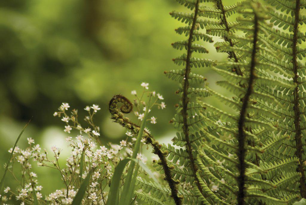 Dryopteris wallichiana, Fern, Wallich's wood fern : Stock Photo
