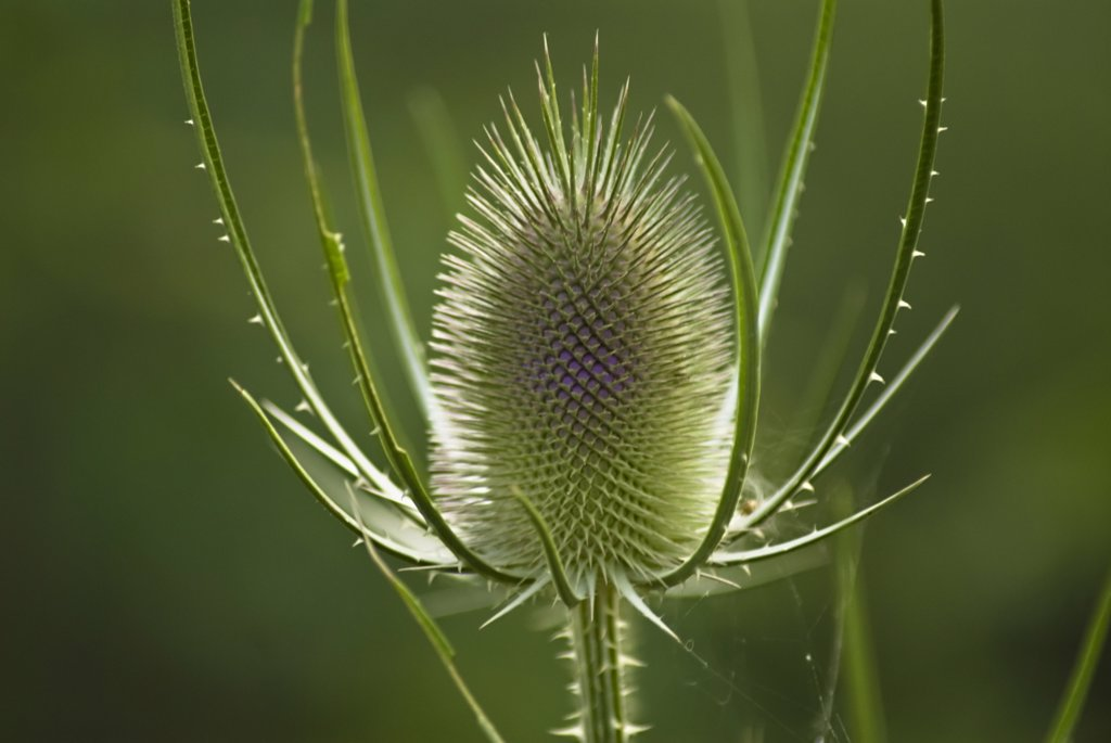 Dipsacus fullonum, Teasel : Stock Photo