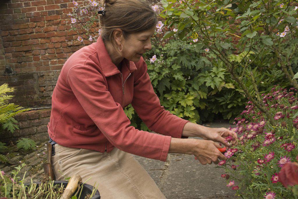 Stock Photo: 1850-36290 Argyranthemum, Marguerite, Daisy