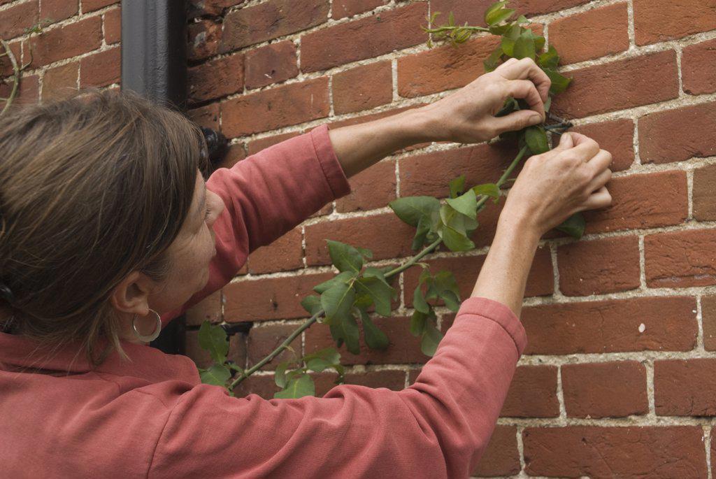 Stock Photo: 1850-36292 Argyranthemum, Marguerite, Daisy