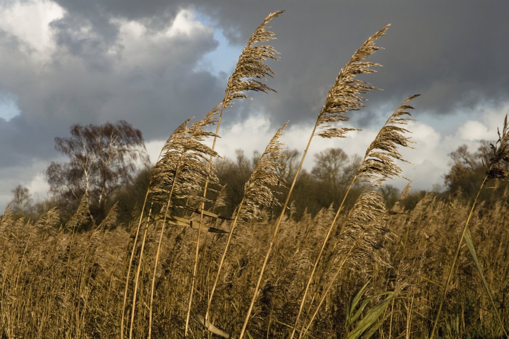Stock Photo: 1850-36364 Phragmites australis, Reeds, Sedge