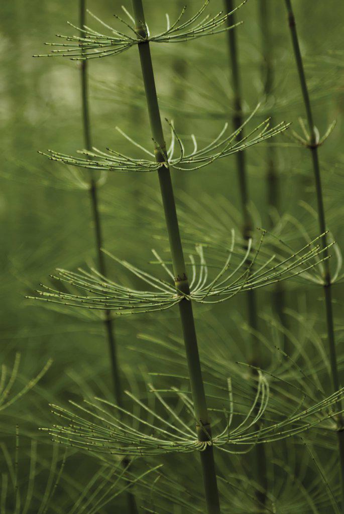Equisetum arvense, Horsetail, Field horsetail : Stock Photo