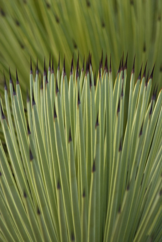 Stock Photo: 1850-36385 Agave stricta, Agave
