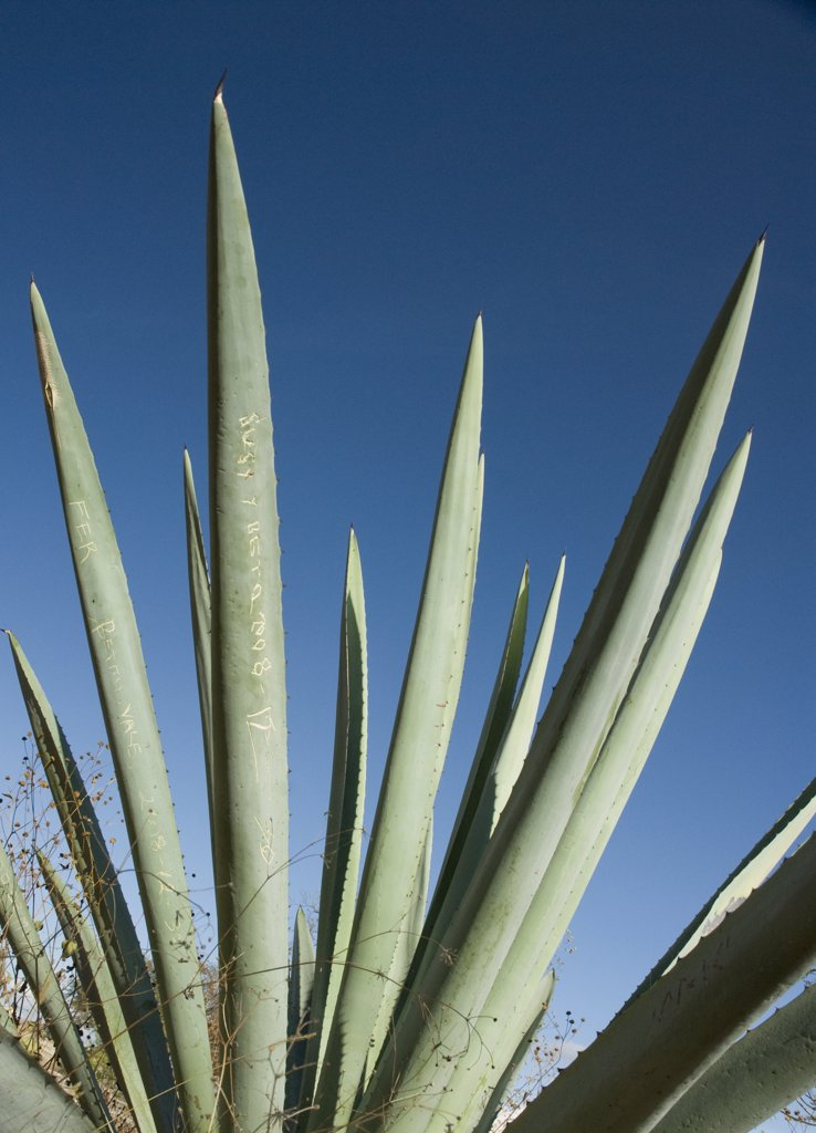 Stock Photo: 1850-36409 Agave tequiliana, Agave