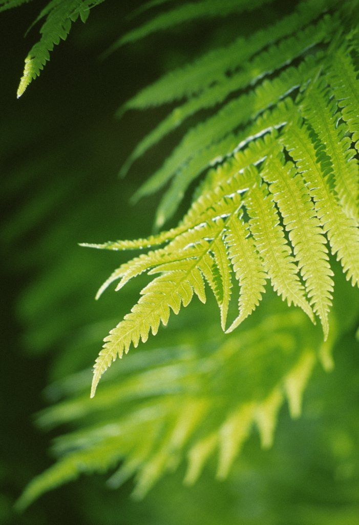 Fern : Stock Photo