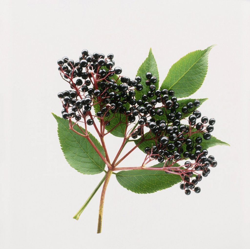 Stock Photo: 1850-36727 Sambucus nigra, Elder