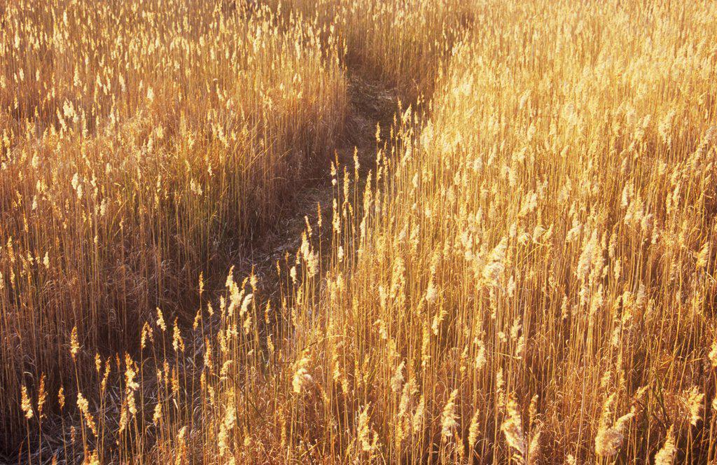 Stock Photo: 1850-36955 Phragmites australis, Reeds, Sedge