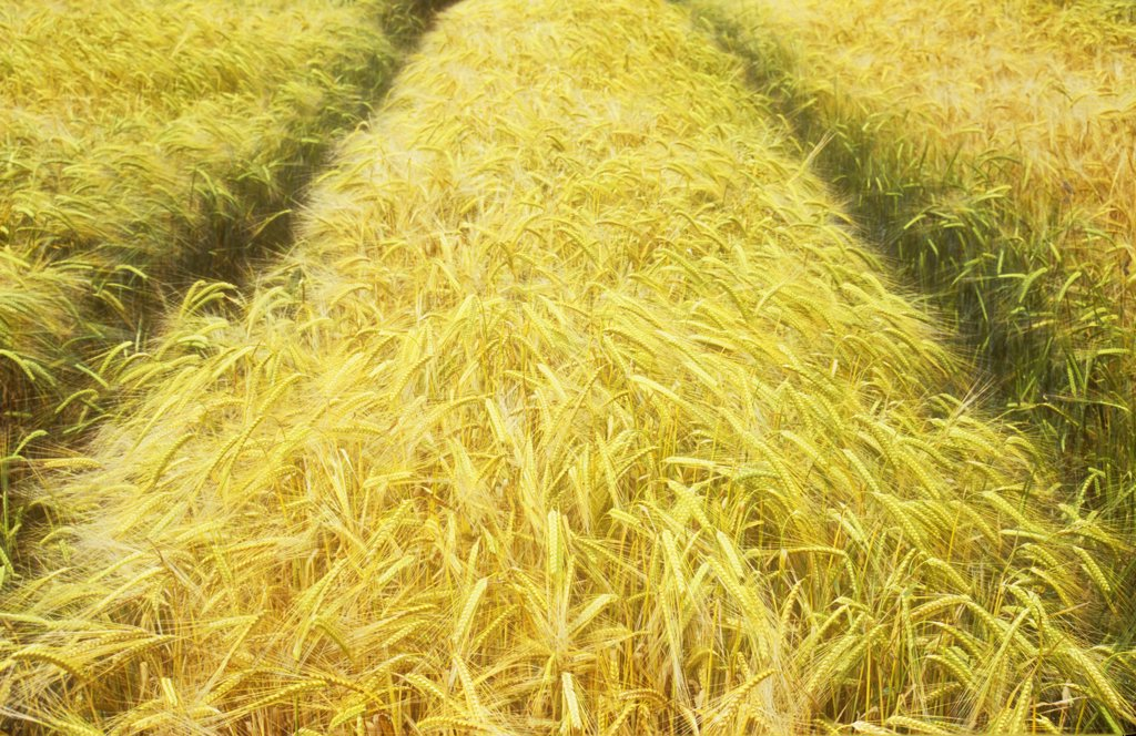 Stock Photo: 1850-36960 Hordeum distichon, Barley