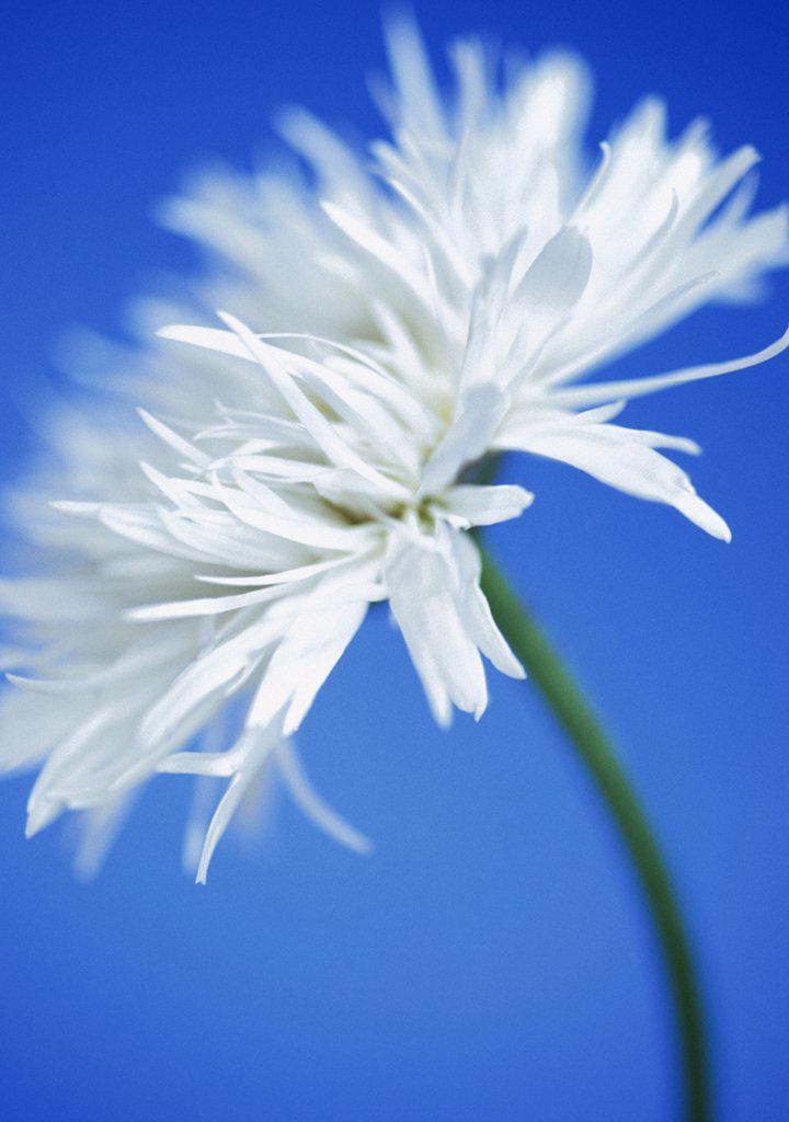 Leucanthemum x superbum, Daisy, Shasta daisy : Stock Photo
