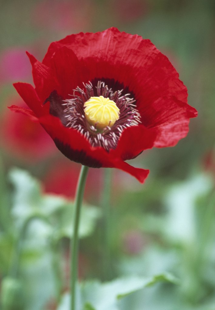 Stock Photo: 1850-37185 Papaver somniferum, Poppy, Opium poppy