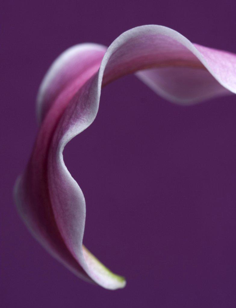 Lilium, Lily : Stock Photo
