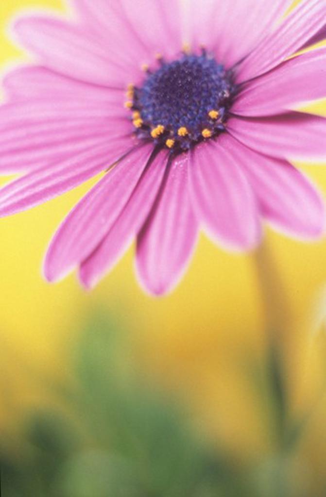 Stock Photo: 1850-37707 Osteospermum, Osteospermum Cape daisy