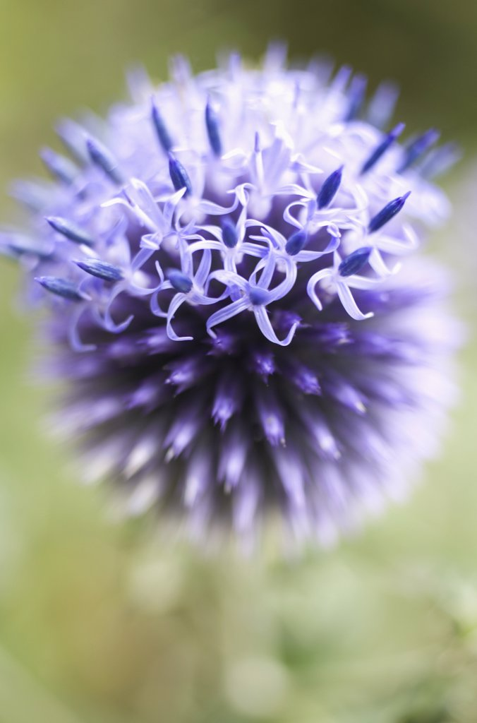 Stock Photo: 1850-37858 Echinops 'Veitch's blue', Globe thistle