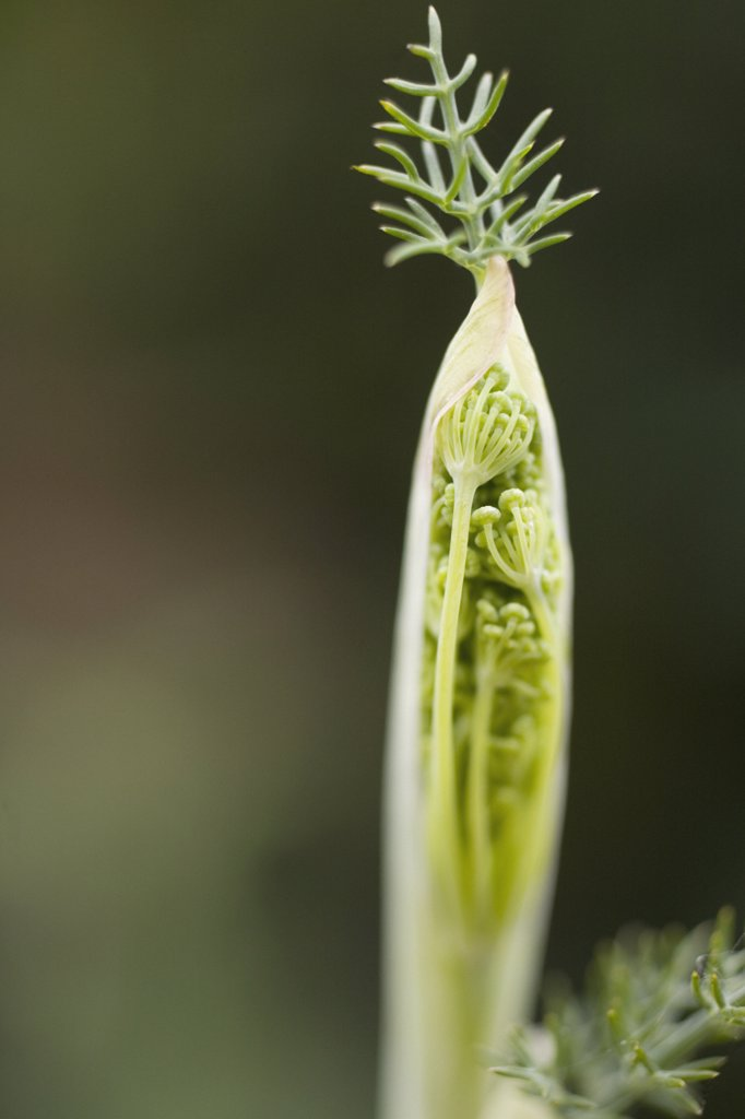 Stock Photo: 1850-37884 Foeniculum vulgare, Fennel
