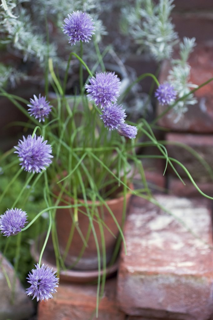 Stock Photo: 1850-38002 Allium schoenoprasum, Chive