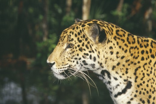 Animals , Big Cats, Jaguar, Belize.  Portrait Looking To Right. : Stock Photo