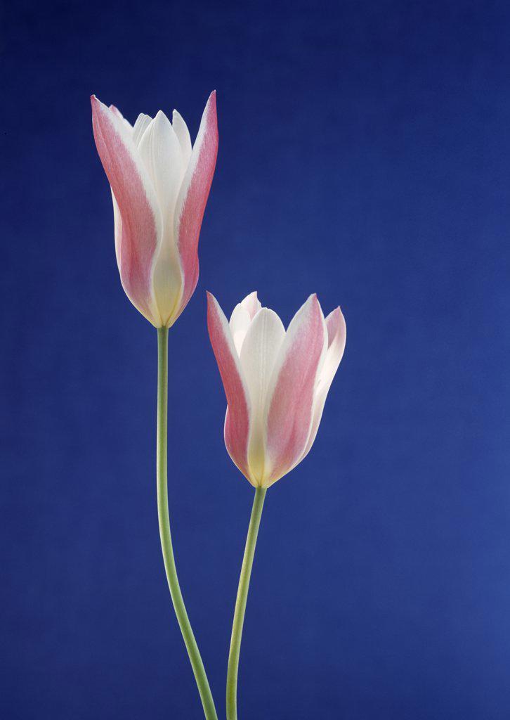 Stock Photo: 1850-38234 Tulipa, Tulip