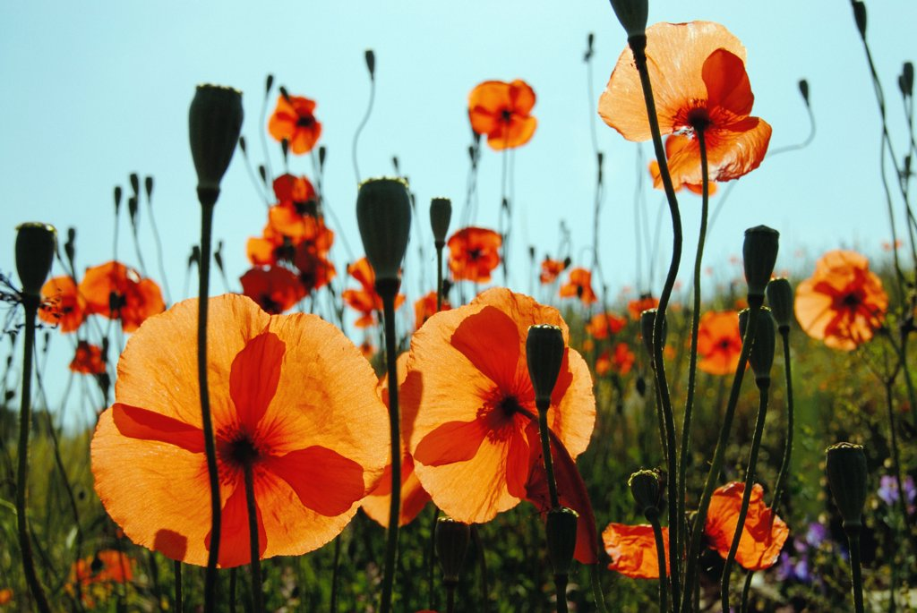 Papaver rhoeas, Poppy : Stock Photo
