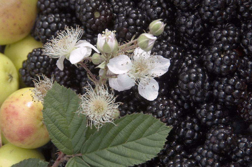 Rubus, Blackberry : Stock Photo