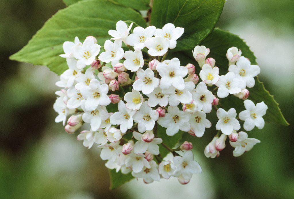 Viburnum burkwoodii, Viburnum : Stock Photo