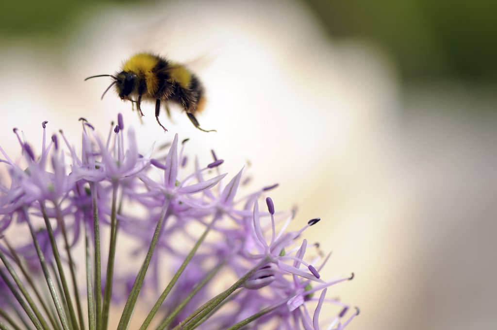 Stock Photo: 1850-38469 Allium aflatunense 'Purple Sensation', Allium
