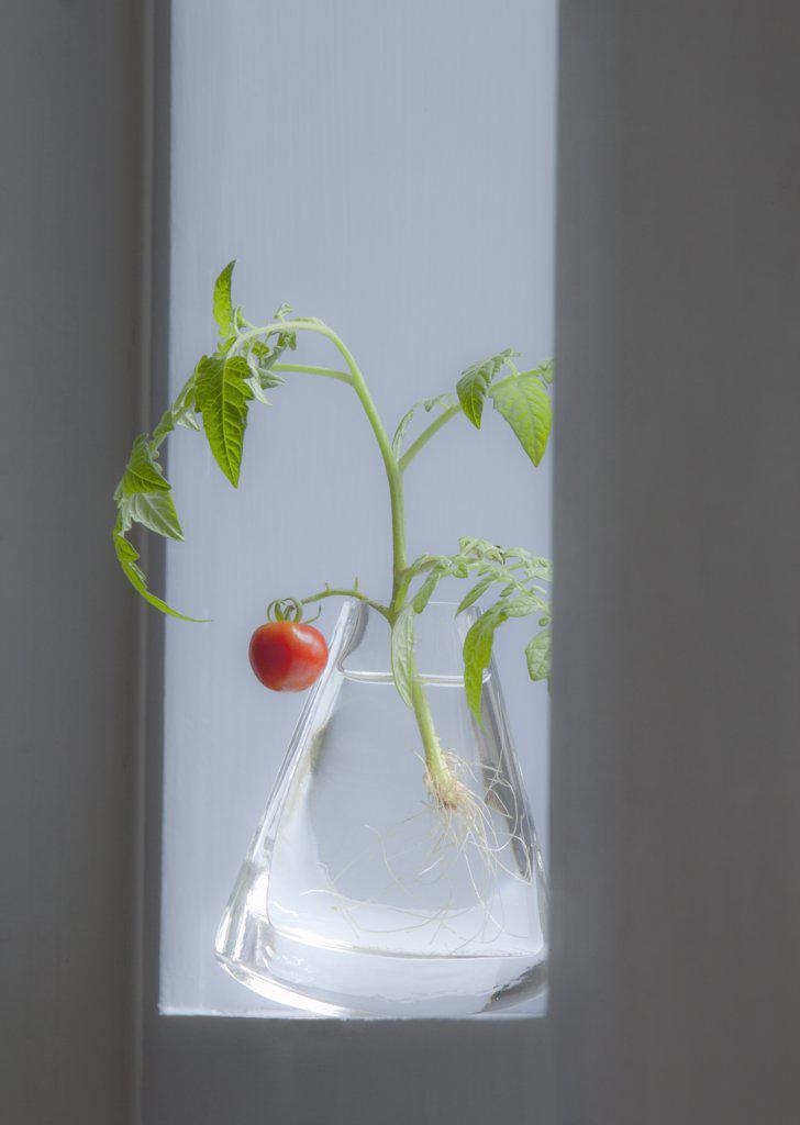 Stock Photo: 1850-38730 Lycopersicon esculentum 'Gardeners Delight', Tomato