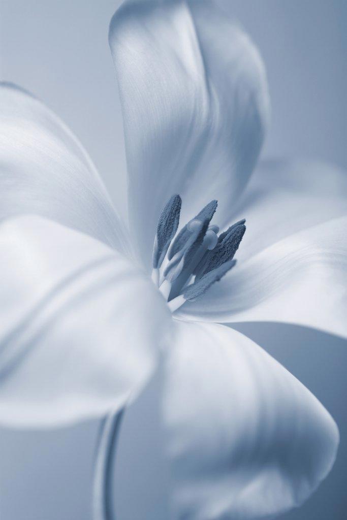 Tulipa, Tulip : Stock Photo